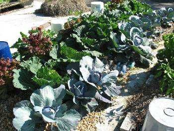 Cabbage and lettuce grown hydroponically on a piece of old carpet in ECHO's urban gardening area.
