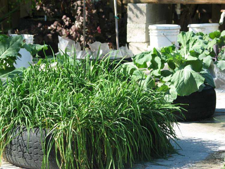 These garlic chives at ECHO have been growing in the same tire for over 14 years!