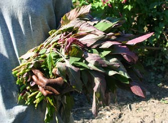 Figure 3: Amaranth leaves (Amaranthus sp.) in Haiti. Photo by Larry Yarger.