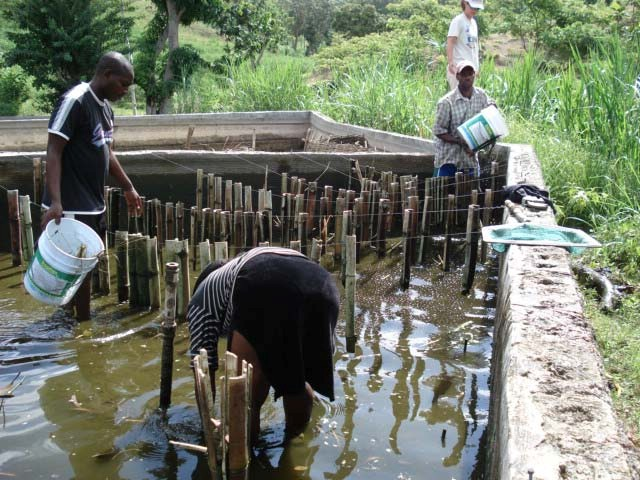 Figure 2. Animators demonstrating how to install bamboo substrate for periphyton to grow on. Photo by William Mebane.