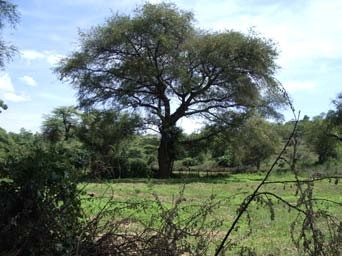 Figure 3: Faidherbia albida at edge of a field in Kenya. Photo:Bob Hargrave