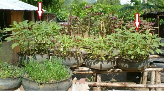 Figure 2: Amaranth growing in tire gardens (second row) in Haiti, June 2009. In the middle row of tires, the plants on the far left and right were fertilized for five of the previous seven days with a mix of water and urine in a 5:1 or 6:1 ratio. In the photograph, plants in all four tires are the same age. [Photo by Danny Blank during his visit to MMP (Mouvement Paysan Papaye) Road to Life Yard Project led by Mark Hare and his Haitian colleagues.]