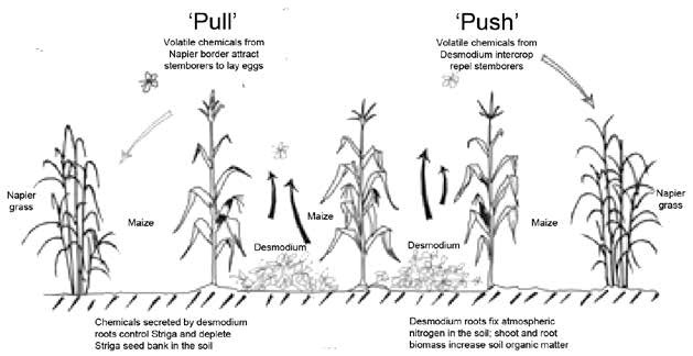 Diagram used with permission from ICIPE. Source: Planting for Prosperity. Push-Pull: A Model for Africa's Green Revolution