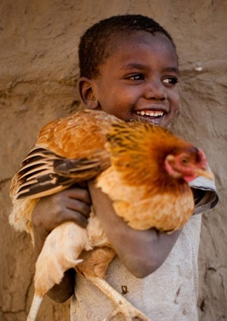 Village chickens can contribute enormously to food security in poor rural households. Photos (this and on facing page) by Alyssa Nicol, used with permission.