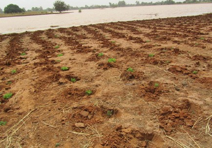 Figure 1. Lablab is planted in the dry season in the wet soil of retreating temporary lakes