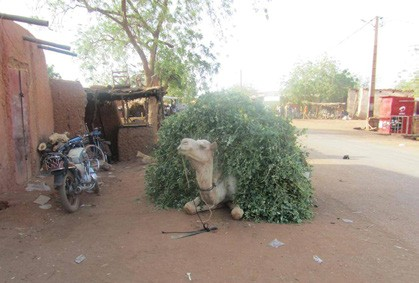Figure 4. Camel bringing fresh lablab forage to a Niger town in the middle of May.