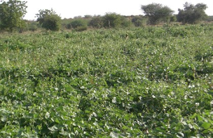 Figure 3. Lablab, three months after sowing, showing full field cover and beginning of flowering.
