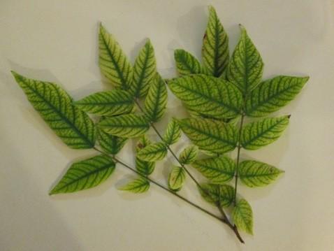 Figure 8. Leaves showing micronutrient deficiencies