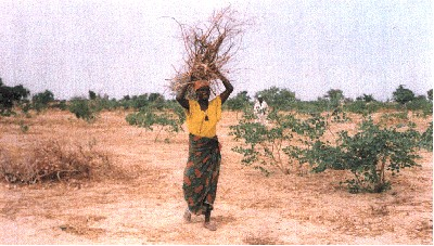Woman carrying firewood out of stand of 8-month regrowth.