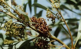 Acacia colei, Coiled-Podded Acacia