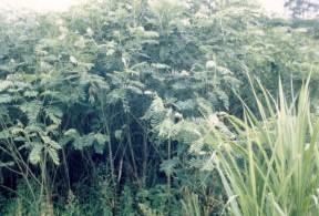 Tephrosia fallow in Cameroon