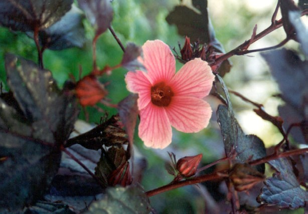 Figure 2: Hibiscus acetosella, also called cranberry hibiscus or false roselle. Photo by Martin Price.