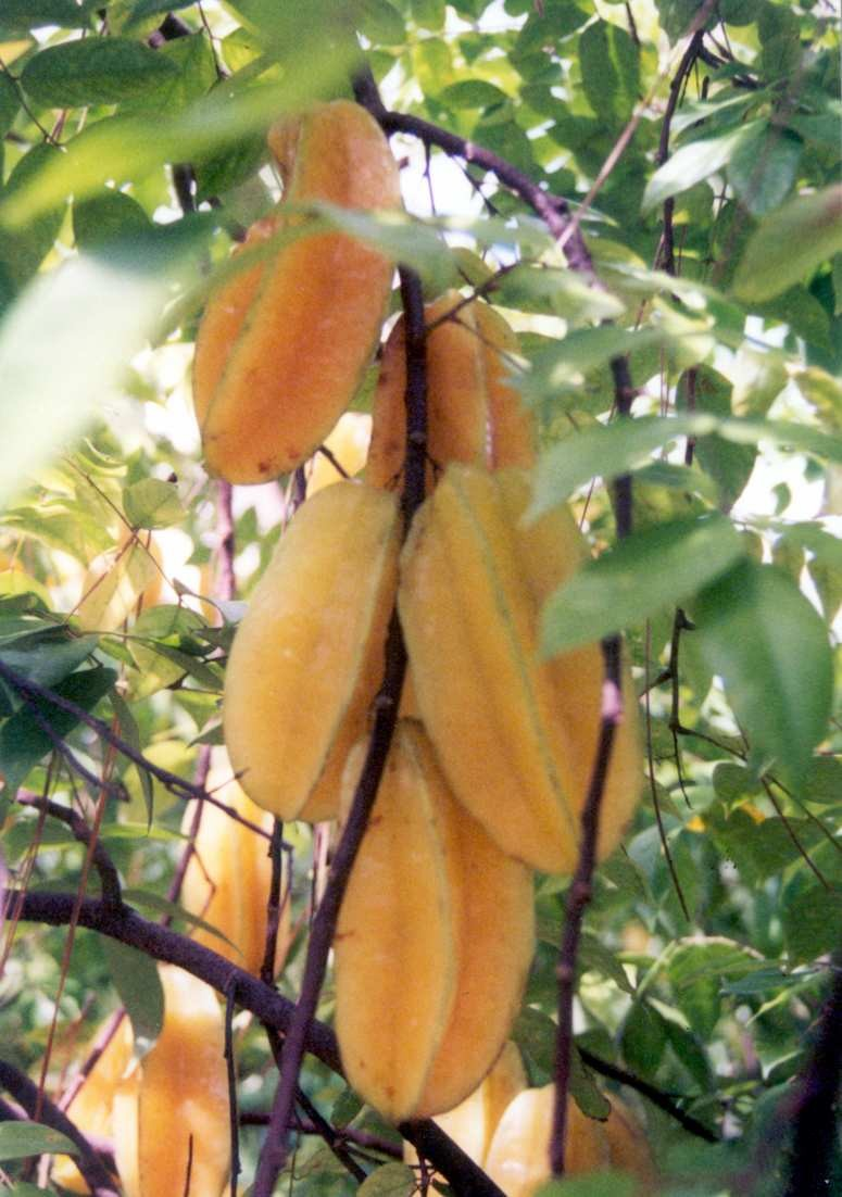 Figure 3: Ripe carambola fruits hanging on a tree. Photo by ECHO Staff.