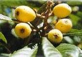 Figure 5: Loquat fruits on the tree.