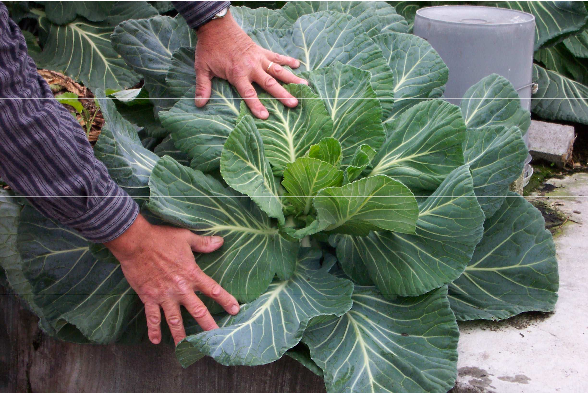 Figure 1: Collards growing in the rooftop garden at ECHO.