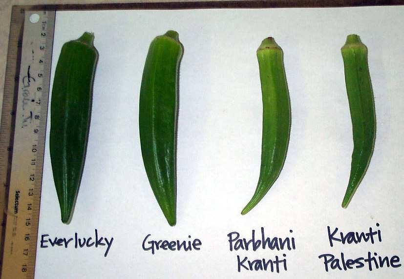Figure 6: Several of the okra varieties found in ECHO's seedbank. The two on the left are different accessions but the same species. The varieties on the right are both hybrids.