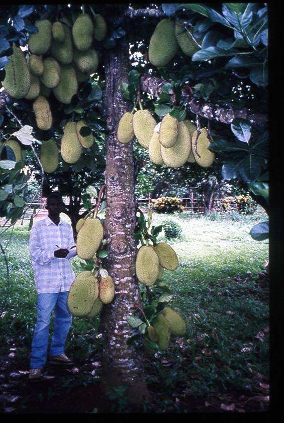 Figure 2: Jackfruit tree in Central African Republic. Fruits grow from the trunk and branches. Photo by Danny Blank.