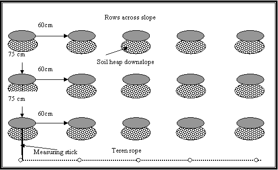 Figure 4: Diagram showing the layout of rows and planting stations for a FGW field.