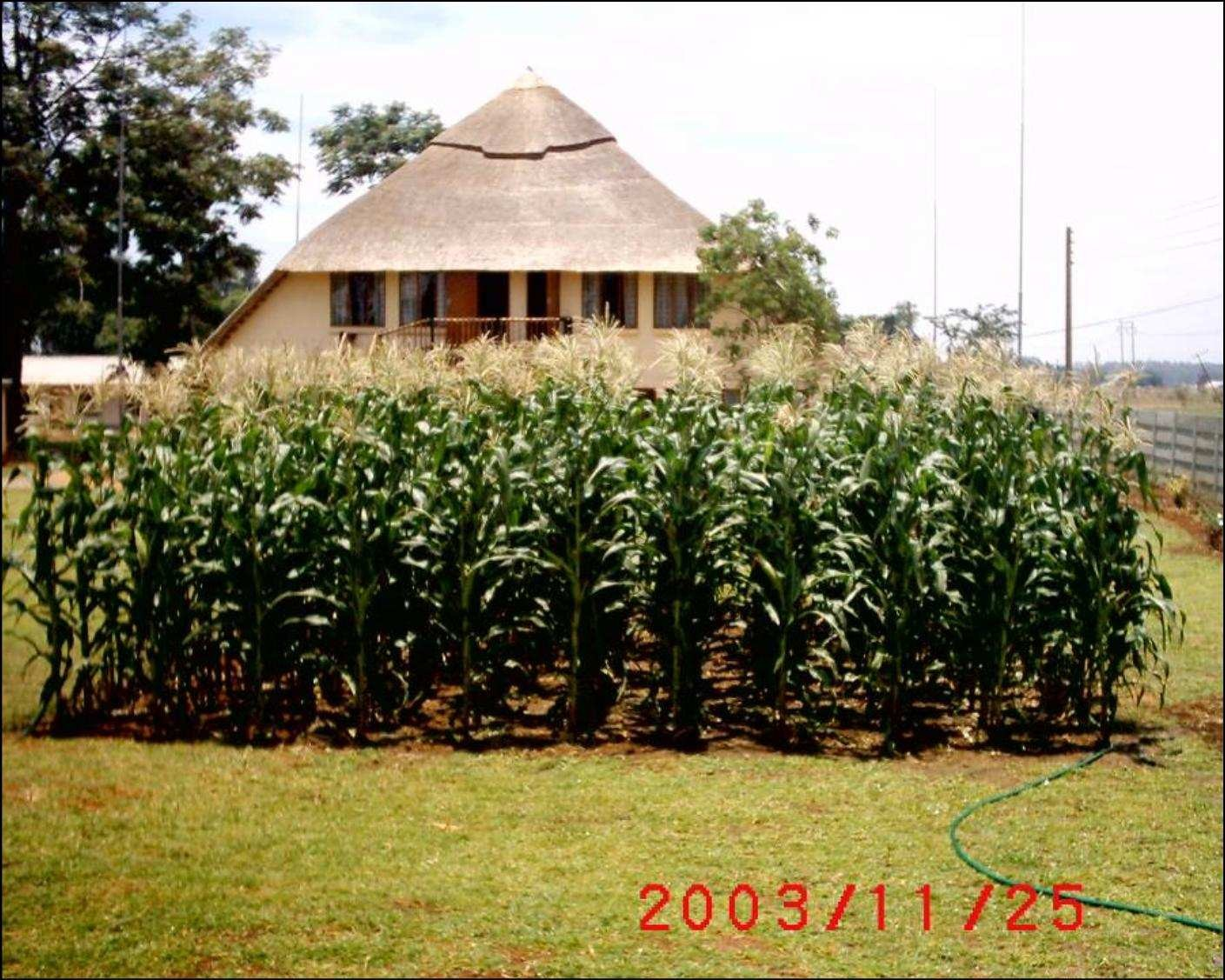Figure 3: A demonstration garden, also called a Well Watered Garden. The 2004 extrapolated yield on this plot exceeded 11 tons/ha.