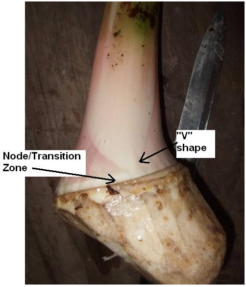 "Figure 3. Node and ""V"" shape formed by a leaf sheath."