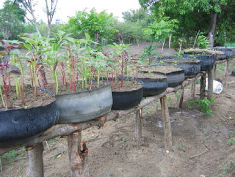 Tire gardens on wooden posts in Haiti. (Note that tires are turned inside out, which provides greater growing area.) Photo by Danny Blank