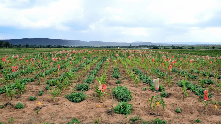 Figure 6.  An ECHO zai experiment in South Africa with sorghum and legume plants grown in alternating rows of zai pits.  Photo by Brandon Lingbeek