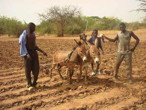 Figure 7.  Donkeys used as draft power to mechanize the digging of zai pits.  Intersecting plow lines mark and form planting pits.  Photo courtesy of Hamado Sawadogo.