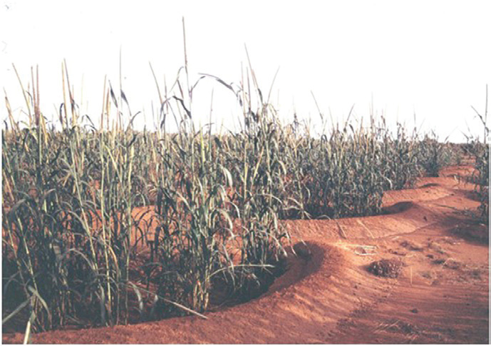 Figure 8.  Millet growing in half-moon basins.  Photo by Chris Reij.