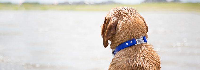 Waterproof Dog Collar on Lab