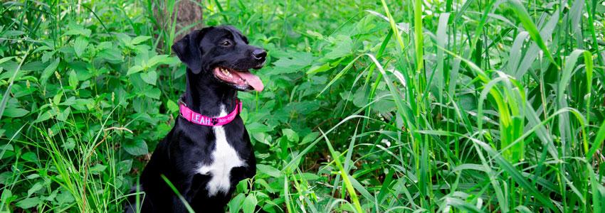 Dog Wearing Designer Dog Collar