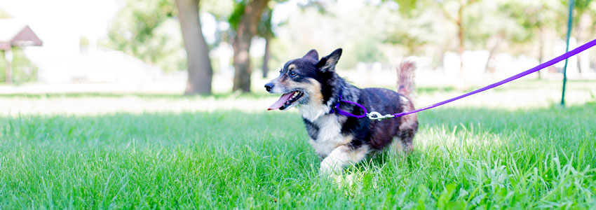 Dog walking with martingale dog collar