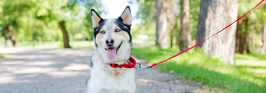 Dog with Martingale Collar connected to leash