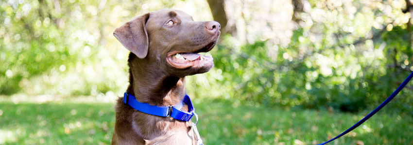 Martingale Dog Collar In Use - Chocolate Lab