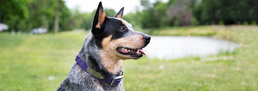 Dog wearing soft grip waterproof dog collar