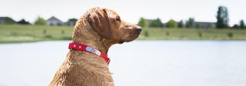 Dog in water wearing a waterproof dog collar