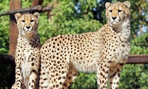 Cheetahs at Wildlife world- Zoo near Phoenix