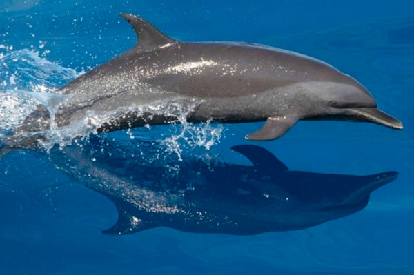 9 Tipos increíbles de delfines en México - Delfín moteado pantropical