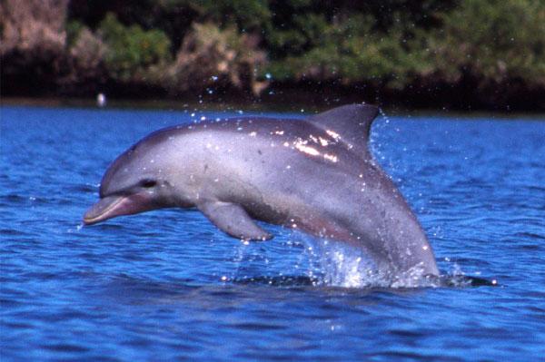 9 Tipos increíbles de delfines en México - Nariz de Botella