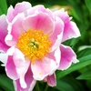 Armitage's Greatest Perennials and Annuals