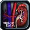 Anatomy Kidney