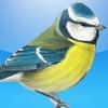 Garden Birds of Britain and Ireland