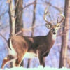 Deer Calls and Hunting Tips