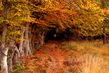 """United Nations Forum on Forests Photo Competition: """"Beech Avenue in Autumn"""" 14.571264"""