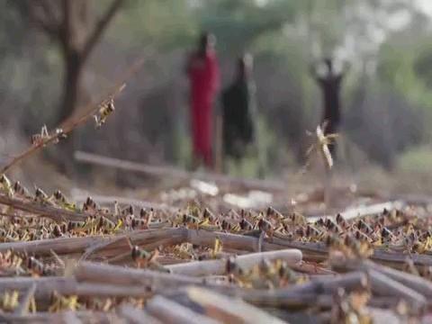 KENYA  DESERT LOCUST IMPACT