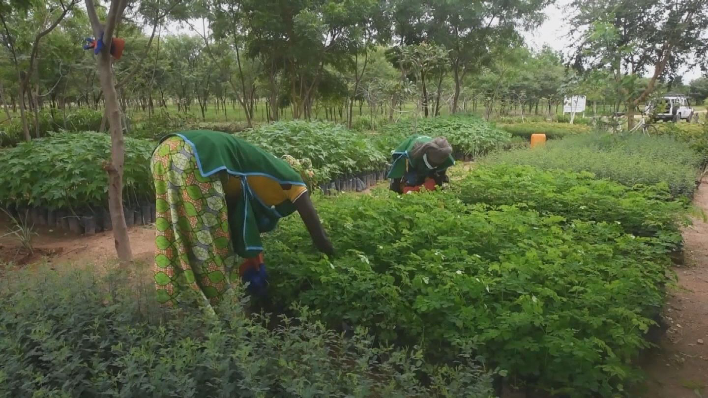 CAMEROON  REFUGEES GREEN WALL