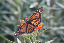 Visiting Monarch Butterflies 2017-11-14