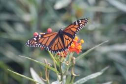 Visiting Monarch Butterflies 2017-11-14