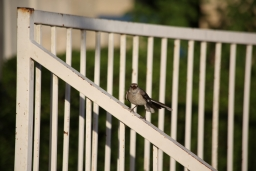 180712 Mockingbird at Dr. Carney's Office 2018-07-13