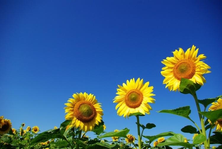 Sunflowers.w750.web