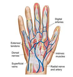 Thumb flexor tendons would